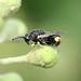 Brachymeria tibialis_4012