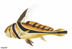 Knight fish illustration from The Naturalist's Miscellany (1789-1813) by George Shaw (1751-1813)