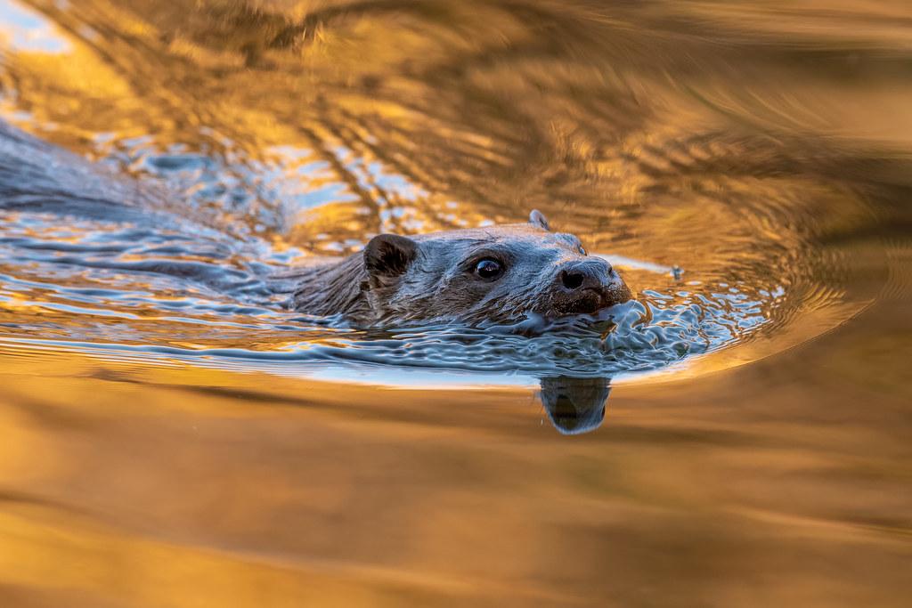 Eurasian Otter - Lutra lutra -  Lontra-europeia
