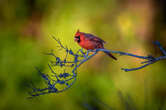 Male cardinal at Venice Rookery, Venice, Florida