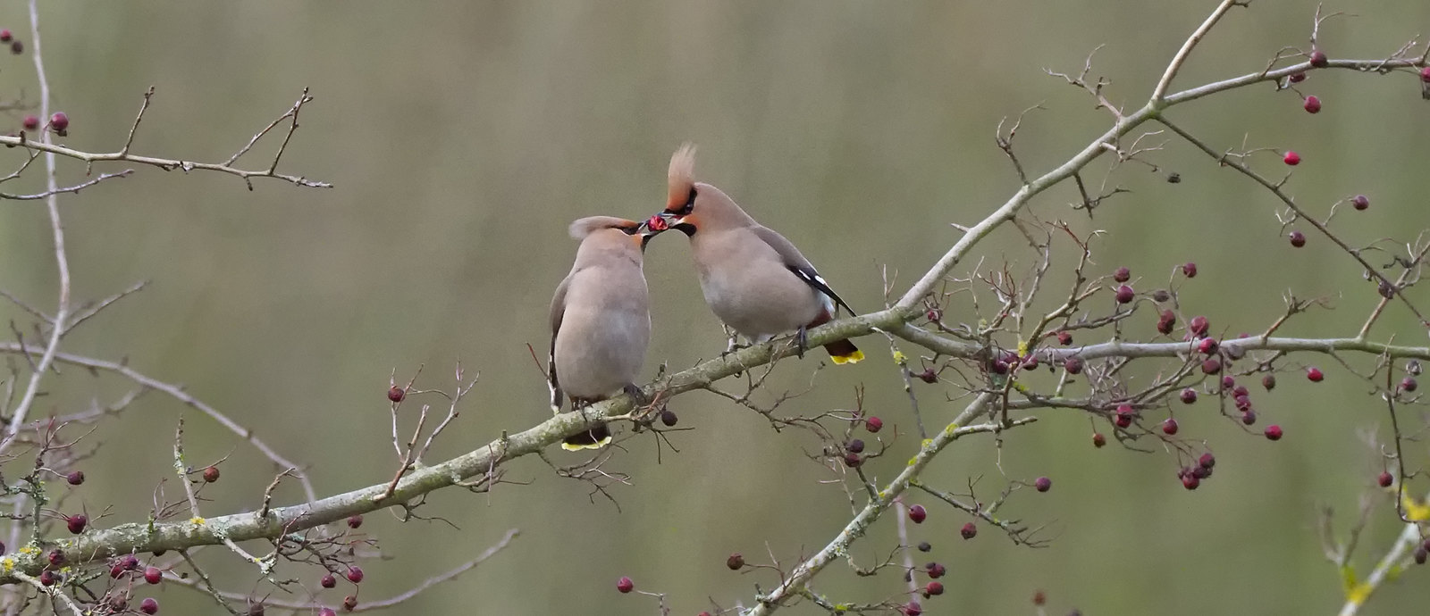 Waxwing - a shared treat - distant but interesting...