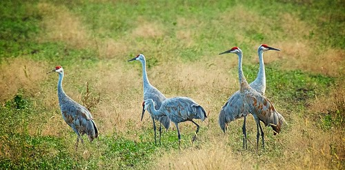 They're Back:  Sandhill Cranes
