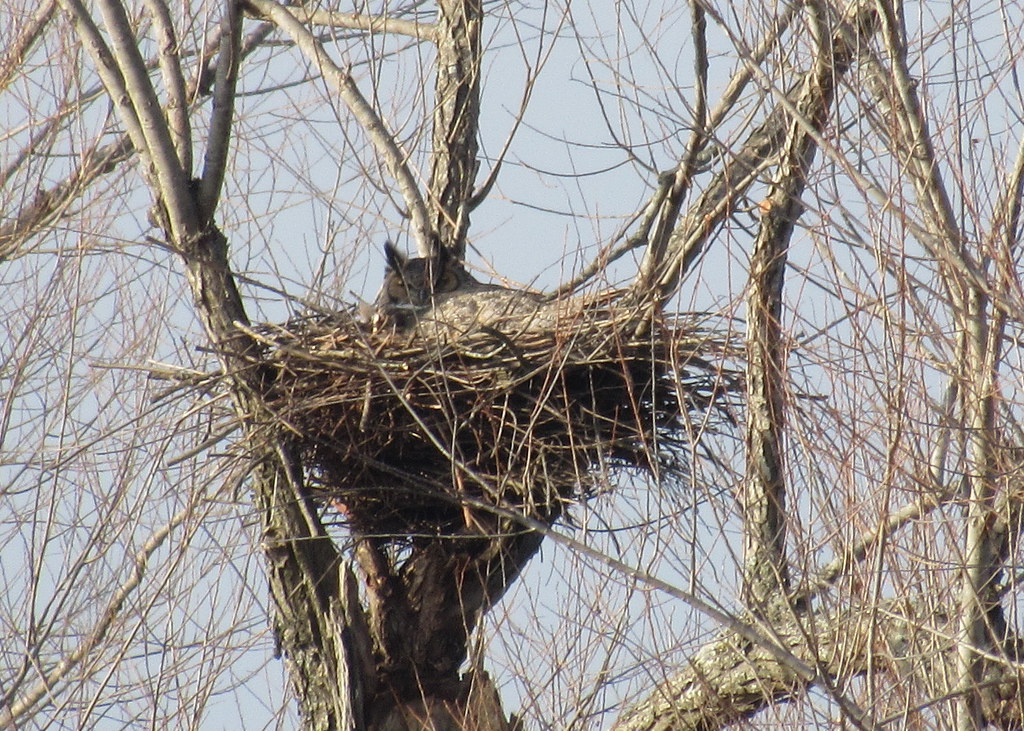 GHOW on nest