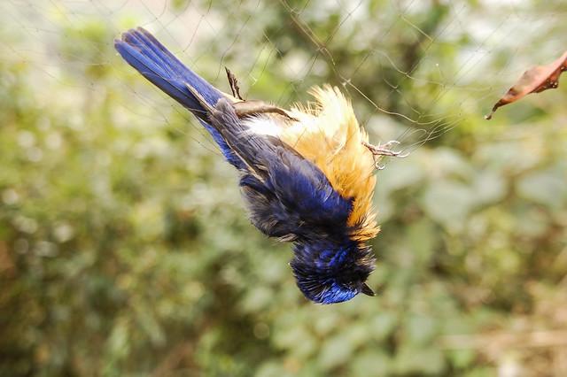 鳥之輓歌 10