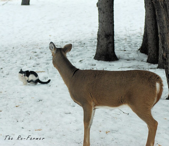2019-01.white.tail.deer.ferdinand.2
