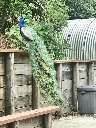 Afternoon Visitor. You don't expect peacocks in the Aussie countryside, but this one (and his mate) escaped and now consider Copeland NSW home.