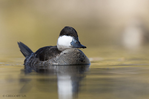 Non-breeding male Ruddy Duck