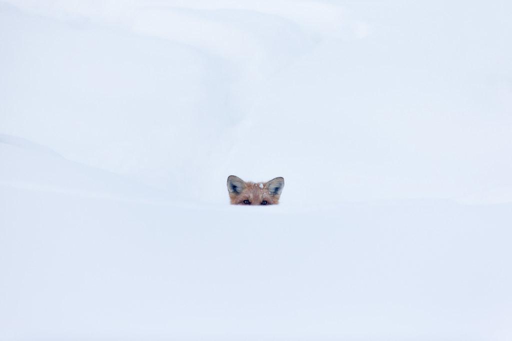 Red Fox - Alaskan Arctic