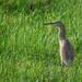 Pond heron - Chinese or Javan?