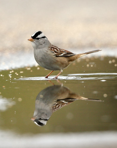 White-crowned Sparrow Zonotrichia leucophrys