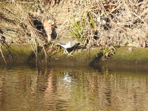 埼玉の野鳥 イソシギ