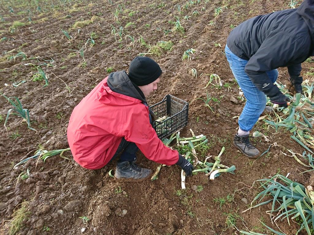 義工在收割韭蔥。