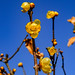 Chimonanthus praecox by shinichiro*