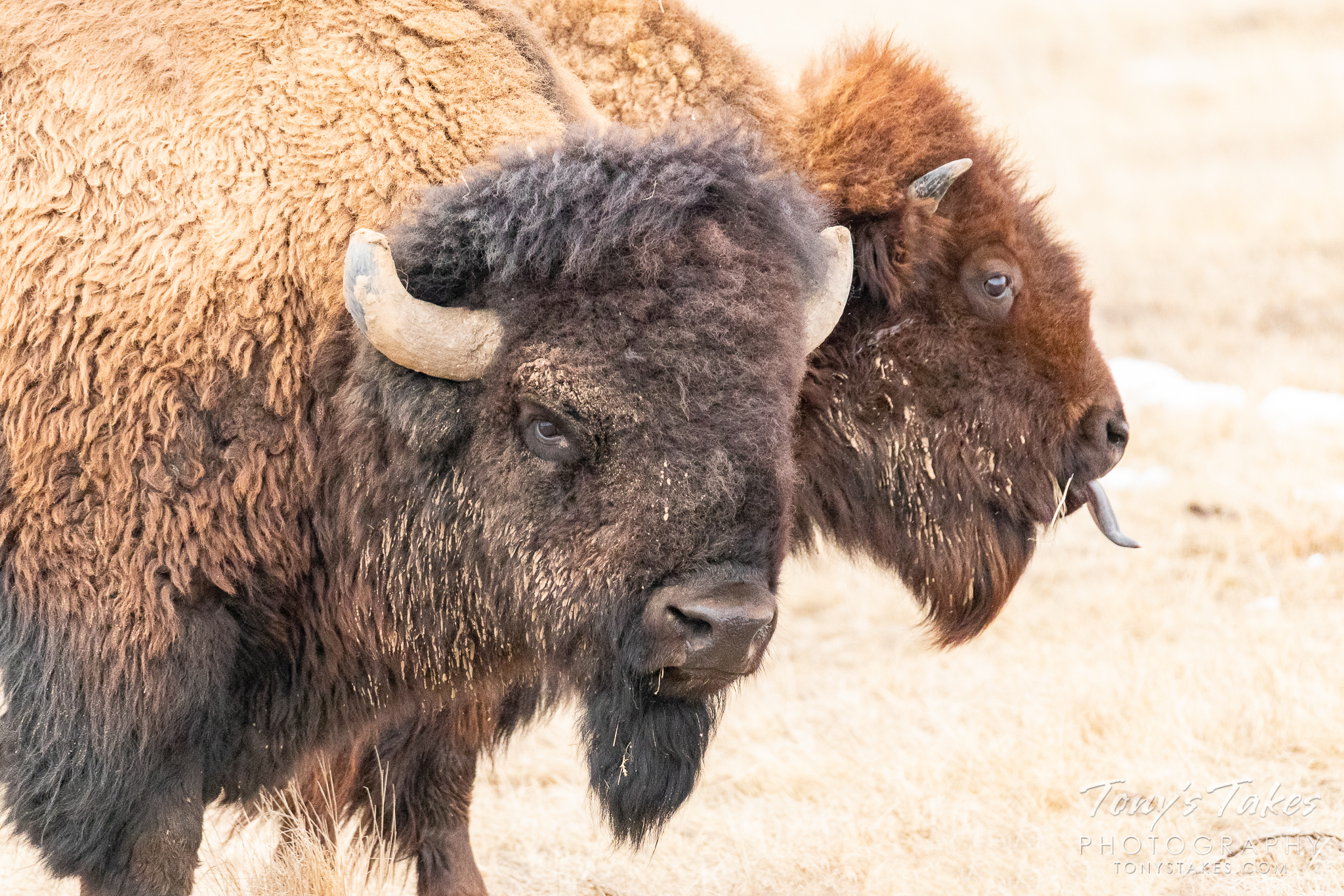 A bison cow seems to stick her tongue out as a reaction to a bull. (© Tony's Takes)