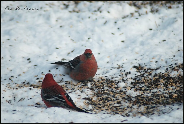2019-02.pine.grosbeak.males.1