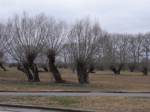 20110318 0205 250 Jakobus Weidenbäume