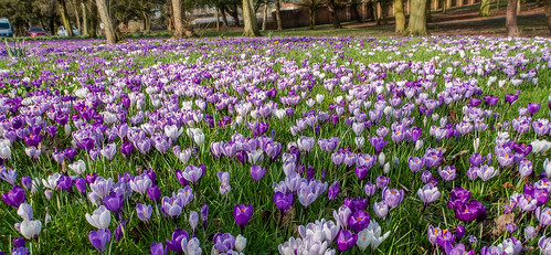 Crocus | by focusmania
