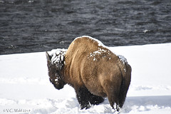 Bison bull along the Madison: ready for spring