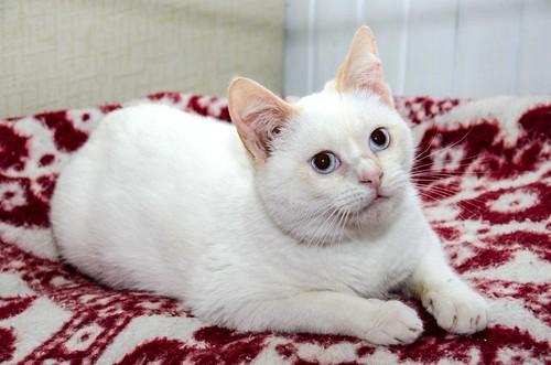 Corinto, gatito siamés Red Point muy guapo, esterilizado tímido y bueno nacido en Octubre´18, en adopción. Valencia. 47150283411_a4989075fa