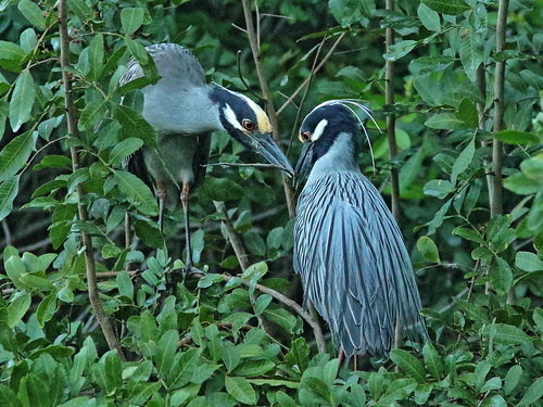 Yellow-crowned Night-Herons at nest 03-20190227