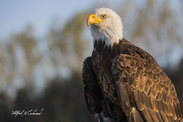 Bald Eagle_T3W1358