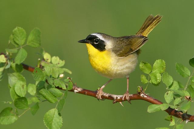 Common Yellowthroat - Northern Ohio