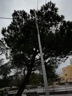 albero piazza venusio (1)