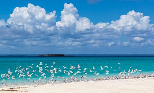 Lesser Crested Terns Flight Line