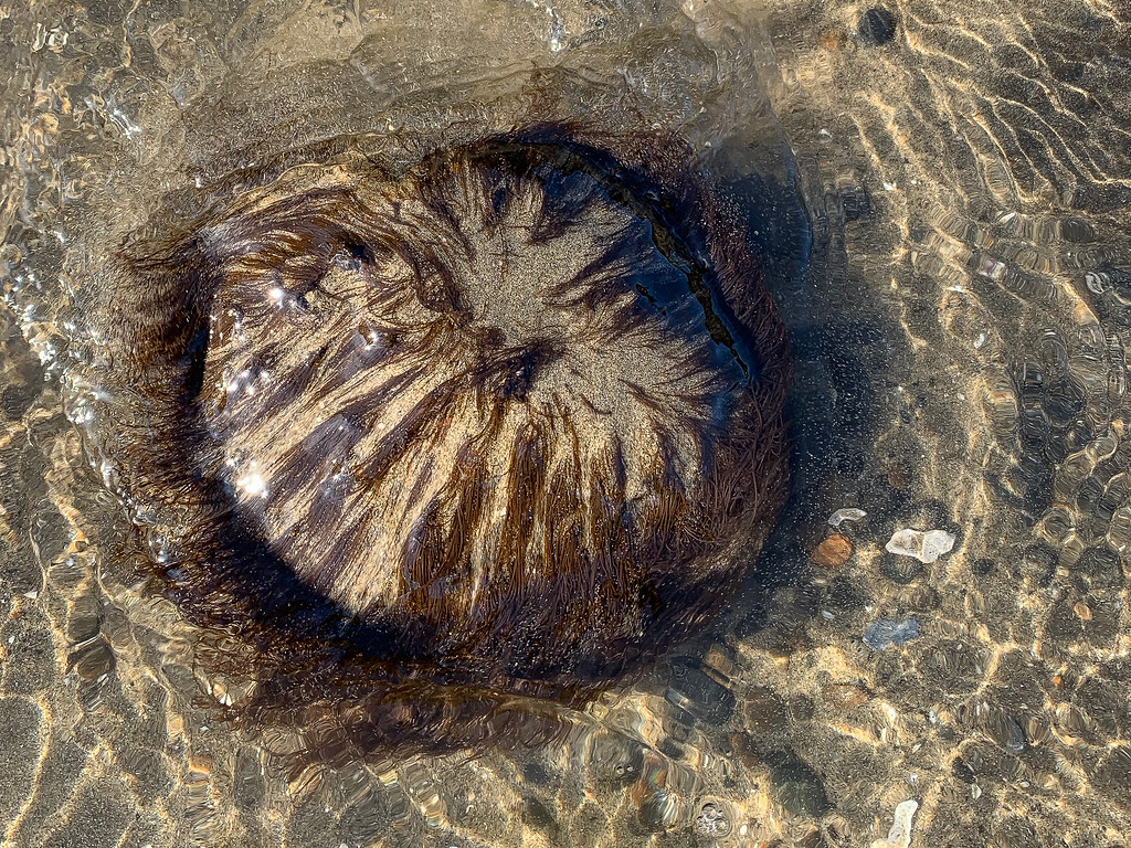 Redish-black filaments hanging down over the top of a rounded rock on sand, about half-submerged in shallow swash