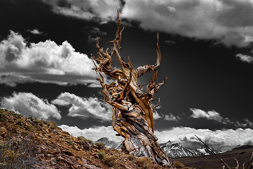 Grey Skies Over Bristlecone Pine