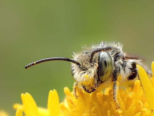 Megachile rotundata male