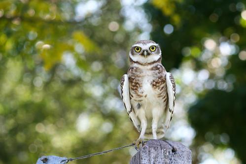 Little curious owl