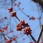 Red maple flower buds. #signsofspring