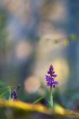 Orchis Bouffon-Anacamptis morio