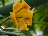 Photo:Solandra maxima flower (cup of gold vine, ゴールデン・カップ) By Greg Peterson in Japan