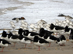 Oystercatchers, Sanderlings and Dunlin