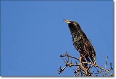 Sturnus vulgaris. European Starling