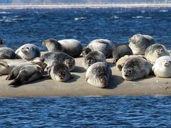 seals at sandy hook