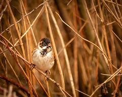 HolderMale Reed Bunting