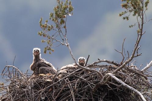 Bald Eaglets 2335