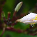 Frangipani bud
