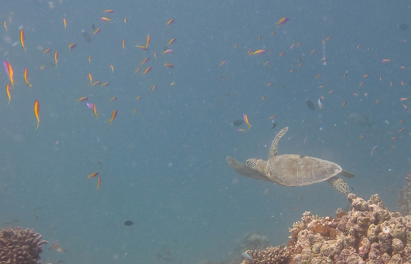 A Sea turtle already in the beginning of the dive