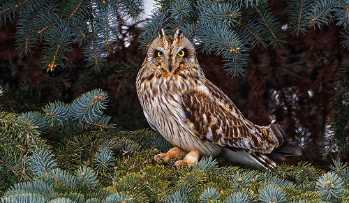 Dorval (QC) Canada Picture : Hibou des marais - Short-eared Owl - Asio flammeus