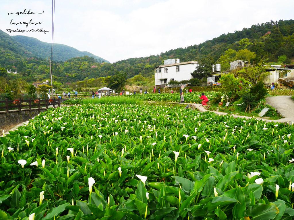 台北陽明山竹子湖海芋季採海芋推薦農園價格 (3)