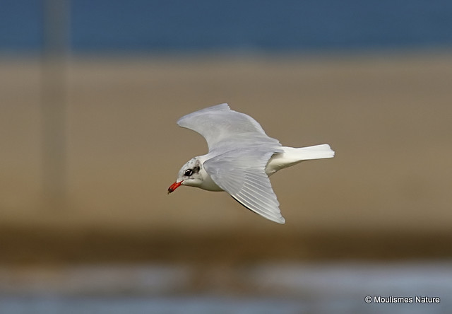 0S8A3739. Mediterranean Gull | Larus melanocephalus | Ad-winter