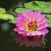 Waterlily by Ebroh