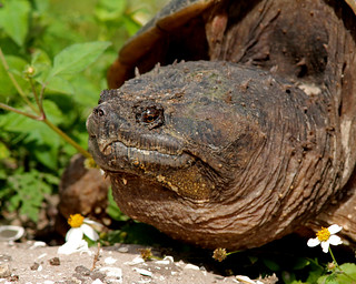 Common Snapping Turtle (Chelydra serpentina) | by Mary Keim