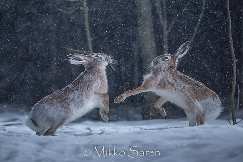 Hare fight