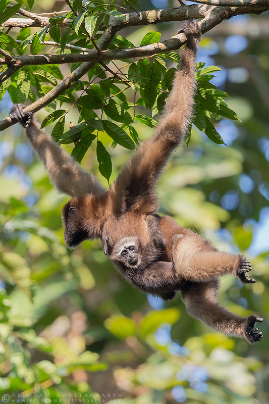 Female Western hoolock Gibbon and her baby in Assam, north east India by Arindam Bhattacharya