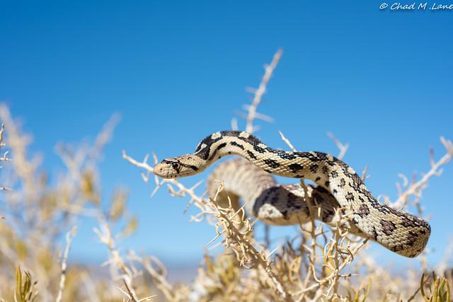 Great Basin Gopher Snake, Nikon D810, AF Micro-Nikkor 60mm f/2.8D